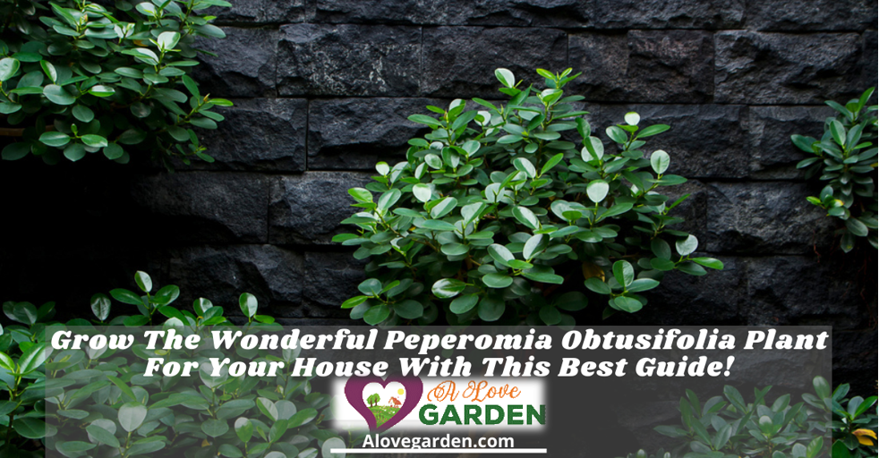 Develop The Fantastic Peperomia Obtusifolia Plant For Your Home With This Finest Information!