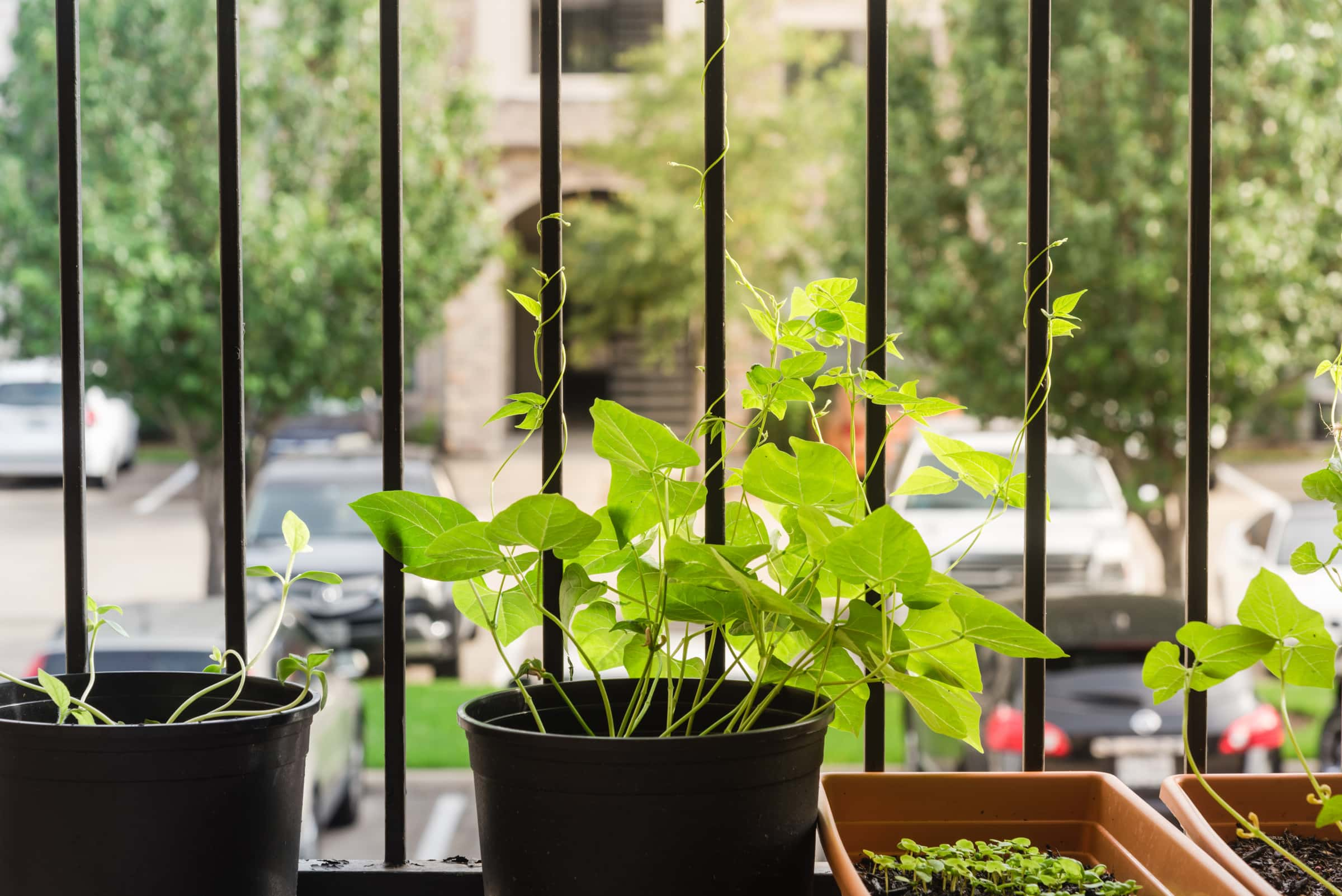 The right way to Develop Beans In Pots - 7 Ideas for a Bountiful Harvest