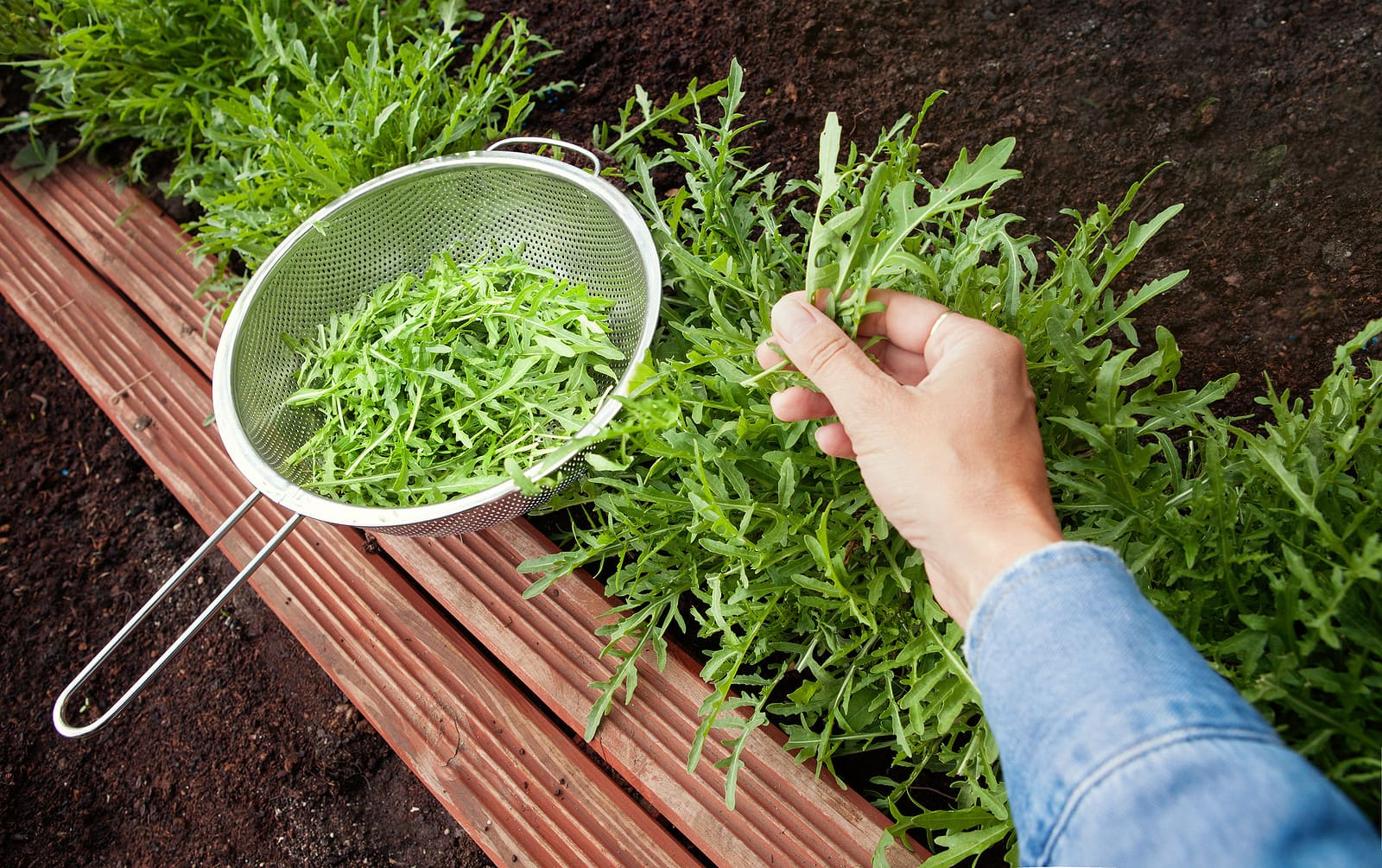 How you can Harvest Arugula So It Retains Rising