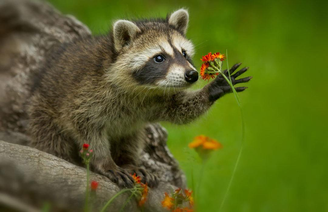 Do You Have a Raccoon Drawback? 5 Issues You Ought to Do